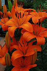 Orange Pixie Lily (Lilium 'Orange Pixie') at Shelmerdine Garden Center