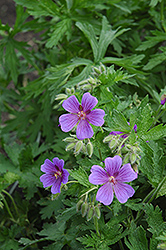 Showy Cranesbill (Geranium magnificum) at Shelmerdine Garden Center