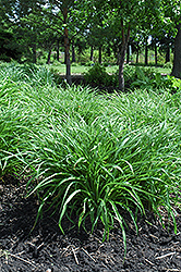 Moor Grass (Molinia caerulea) at Shelmerdine Garden Center