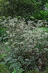 Ravenswing Cow Parsley (Anthriscus sylvestris 'Ravenswing') at Shelmerdine Garden Center