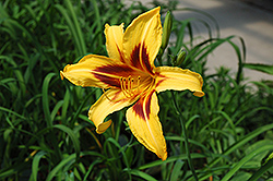 Bonanza Daylily (Hemerocallis 'Bonanza') at Shelmerdine Garden Center