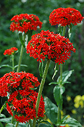 Maltese Cross (Lychnis chalcedonica) at Shelmerdine Garden Center