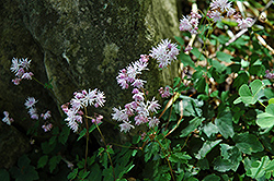 Dwarf Korean Meadow Rue (Thalictrum kiusianum) at Shelmerdine Garden Center