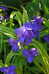 Sweet Kate Spiderwort (Tradescantia x andersoniana 'Sweet Kate') at Shelmerdine Garden Center