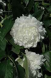 Rose Marie Lins Peony (Paeonia 'Rose Marie Lins') at Shelmerdine Garden Center