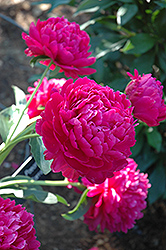 Paul Wild Peony (Paeonia 'Paul Wild') at Shelmerdine Garden Center