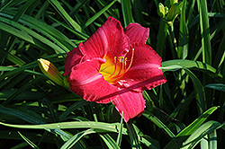 Seductor Daylily (Hemerocallis 'Seductor') at Shelmerdine Garden Center