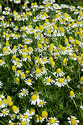 Chamomile (Matricaria recutita) at Shelmerdine Garden Center