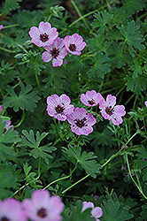 Ballerina Cranesbill (Geranium cinereum 'Ballerina') at Shelmerdine Garden Center