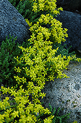 Six Row Stonecrop (Sedum sexangulare) at Shelmerdine Garden Center