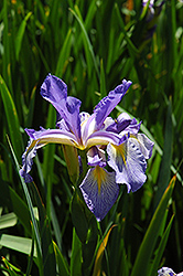 Spuria Iris (Iris spuria) at Shelmerdine Garden Center