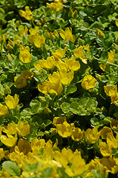 Creeping Jenny (Lysimachia nummularia) at Shelmerdine Garden Center
