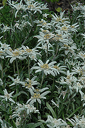 Alpine Edelweiss (Leontopodium alpinum) at Shelmerdine Garden Center