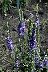 Blue Candles Speedwell (Veronica spicata 'Blue Candles') at Shelmerdine Garden Center