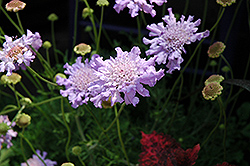 Giant Blue Pincushion Flower (Scabiosa 'Giant Blue') at Shelmerdine Garden Center