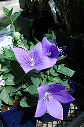 Astra Blue Balloon Flower (Platycodon grandiflorus 'Astra Blue') at Shelmerdine Garden Center