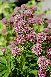 Hadspen Blood Masterwort (Astrantia major 'Hadspen Blood') at Shelmerdine Garden Center