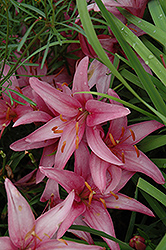 Move Lily (Lilium 'Move') at Shelmerdine Garden Center