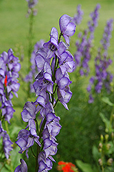 Common Monkshood (Aconitum napellus) at Shelmerdine Garden Center