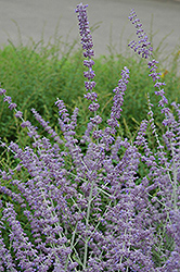 Russian Sage (Perovskia atriplicifolia) at Shelmerdine Garden Center