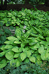 Gold Standard Hosta (Hosta 'Gold Standard') at Shelmerdine Garden Center