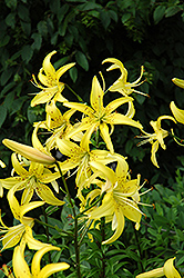 Yellow Star Lily (Lilium 'Yellow Star') at Shelmerdine Garden Center