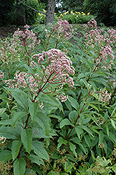 Gateway Joe Pye Weed (Eupatorium maculatum 'Gateway') at Shelmerdine Garden Center