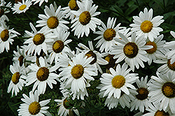 Alaska Shasta Daisy (Leucanthemum x superbum 'Alaska') at Shelmerdine Garden Center