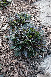 Chocolate Chip Bugleweed (Ajuga reptans 'Chocolate Chip') at Shelmerdine Garden Center