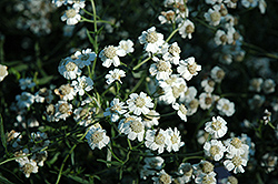 Sneezewort (Achillea ptarmica) at Shelmerdine Garden Center