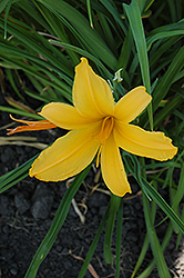 Castille Daylily (Hemerocallis 'Castille') at Shelmerdine Garden Center