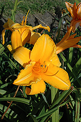 Olympic Gold Daylily (Hemerocallis 'Olympic Gold') at Shelmerdine Garden Center