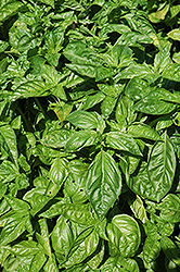 Sweet Basil (Ocimum basilicum) at Shelmerdine Garden Center