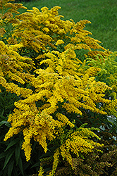 Crown Of Rays Goldenrod (Solidago 'Crown Of Rays') at Shelmerdine Garden Center