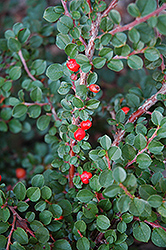 Hesse Cotoneaster (Cotoneaster 'Hessei') at Shelmerdine Garden Center