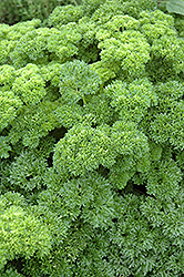 Parsley (Petroselinum crispum) at Shelmerdine Garden Center