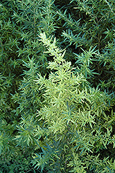 Oriental Limelight Artemesia (Artemisia vulgaris 'Oriental Limelight') at Shelmerdine Garden Center