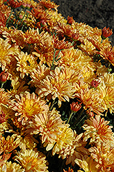 Tiger Tail Chrysanthemum (Chrysanthemum 'Tiger Tail') at Shelmerdine Garden Center
