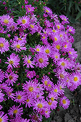 Purple Beauty Aster (Aster 'Purple Beauty') at Shelmerdine Garden Center