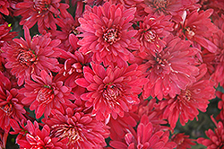Minngopher Chrysanthemum (Chrysanthemum 'Minngopher') at Shelmerdine Garden Center