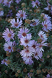 Woods Blue Aster (Aster 'Woods Blue') at Shelmerdine Garden Center