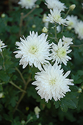 Powder River Chrysanthemum (Chrysanthemum 'Powder River') at Shelmerdine Garden Center