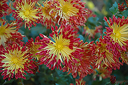 Matchsticks Chrysanthemum (Chrysanthemum 'Matchsticks') at Shelmerdine Garden Center
