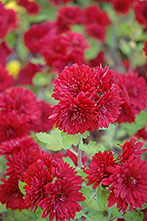 Ruby Mound Chrysanthemum (Chrysanthemum 'Ruby Mound') at Shelmerdine Garden Center