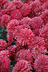 Minnruby Chrysanthemum (Chrysanthemum 'Minnruby') at Shelmerdine Garden Center