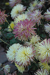 Sea Urchin Chrysanthemum (Chrysanthemum 'Sea Urchin') at Shelmerdine Garden Center
