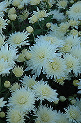 Bristol White Chrysanthemum (Chrysanthemum 'Bristol White') at Shelmerdine Garden Center