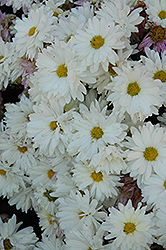 White Daisy Chrysanthemum (Chrysanthemum 'White Daisy') at Shelmerdine Garden Center