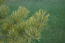 Scotch Pine (Pinus sylvestris) at Shelmerdine Garden Center