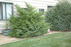 Mint Julep Juniper (Juniperus chinensis 'Mint Julep') at Shelmerdine Garden Center